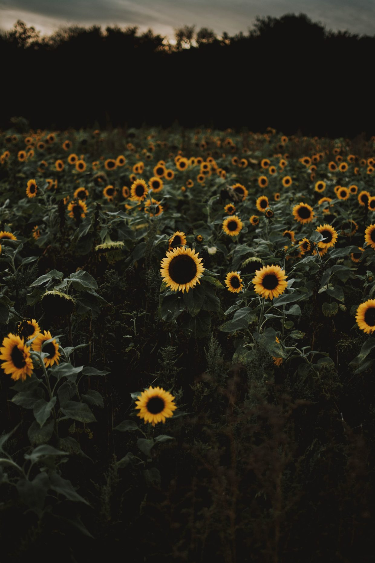 Field of sunflowers at dusk; sunflowers are often used in companion planting