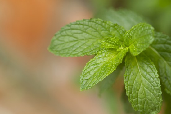 Closeup of mint leaves, a popular plant for cannabis companion planting