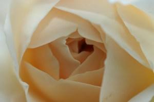 bluete_rose_gelb_nahe_2