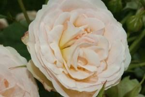 bluete_rose_weiss_gruen