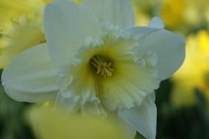 bluete_weiss_gelb_daffodil