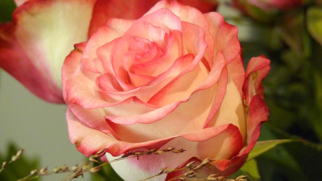 Rose Paloma
