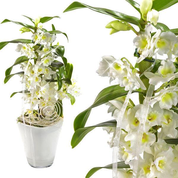 Asiatische Traubenorchidee online  Zimmerpflanzen