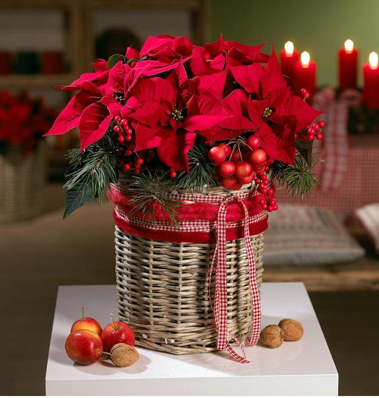 Weihnachten mit dem Weihnachtsstern  blumenglanz