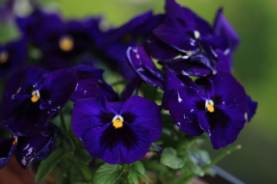 GartenStiefmtterchen  Pflanzenblog