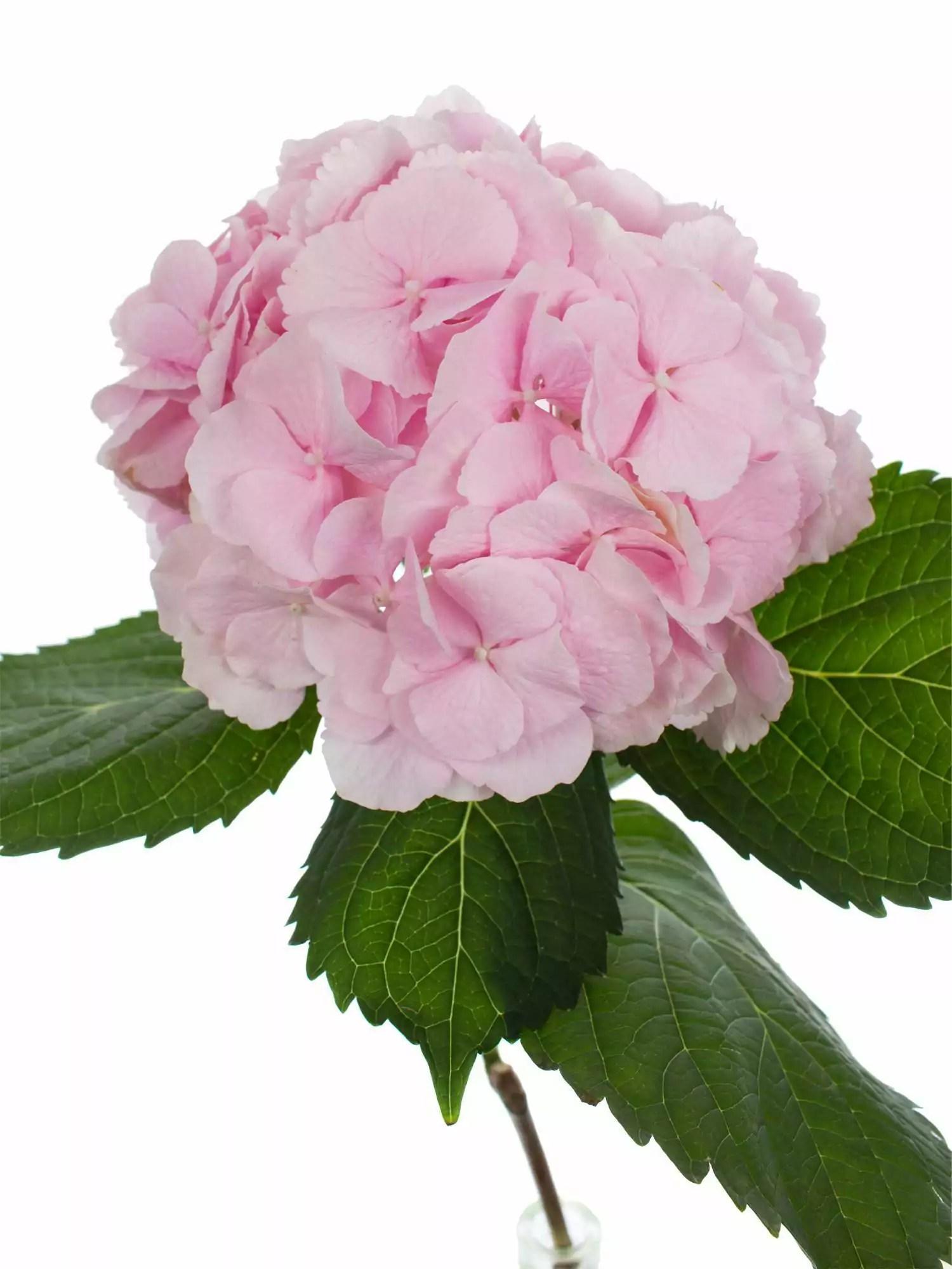 Hortensie Verena rosa bestellen Blumigo