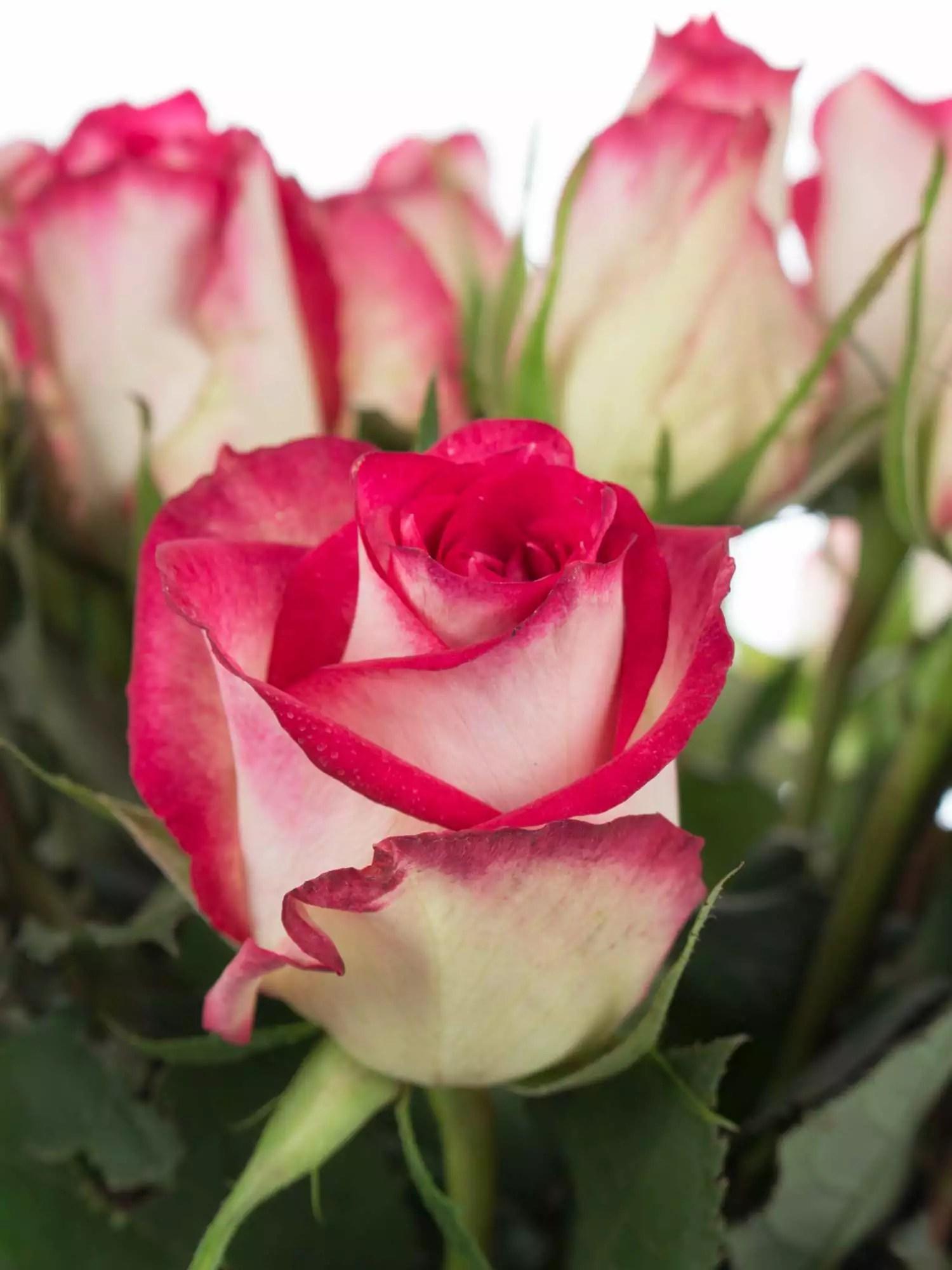 Rosen Konservieren Mit Waschpulver rosen upper class rot