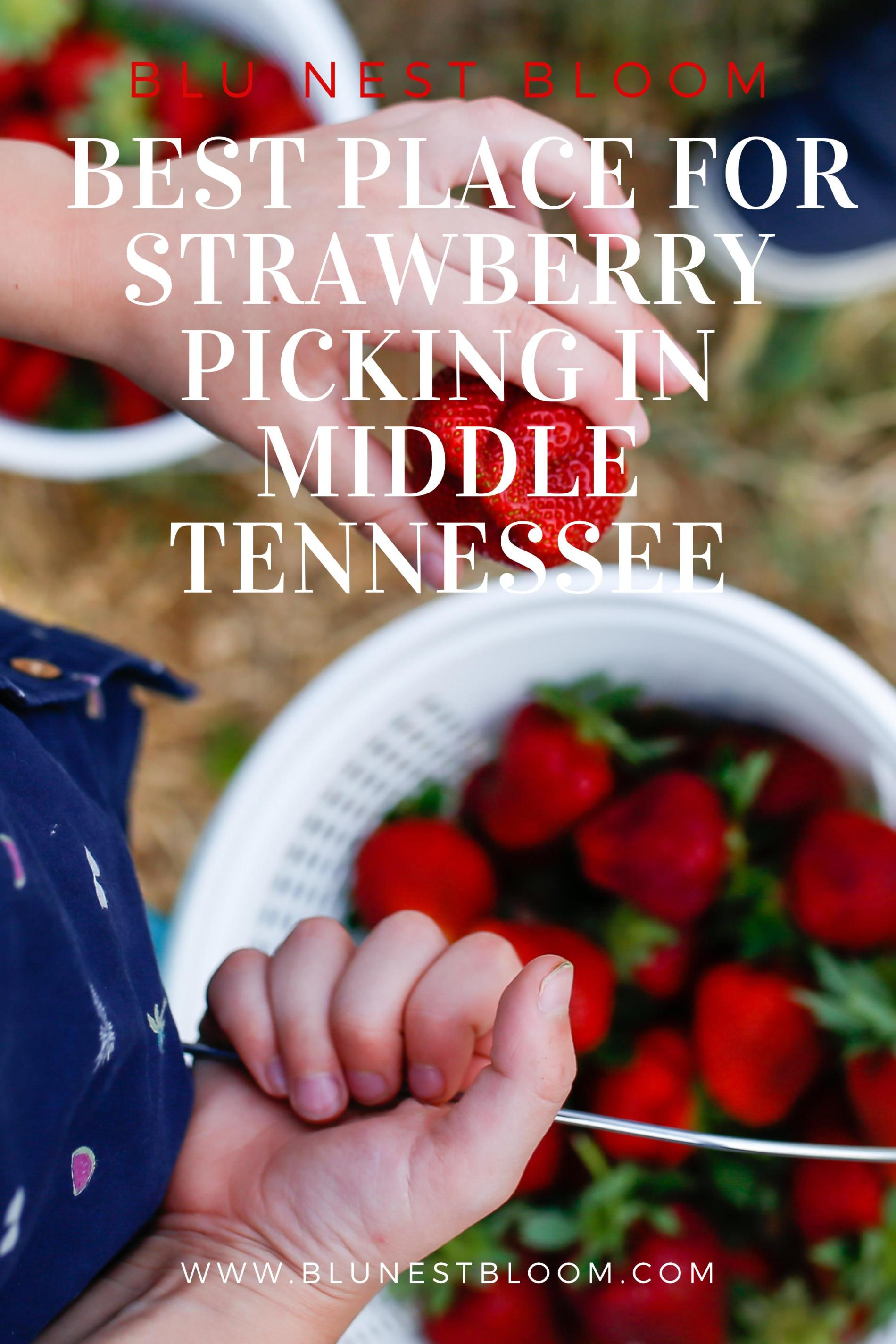 Strawberry Picking at Batey Farms