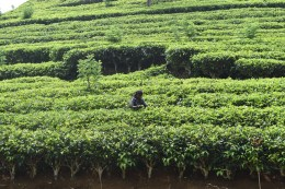 Among the tea plantation - ceylon tea we were told