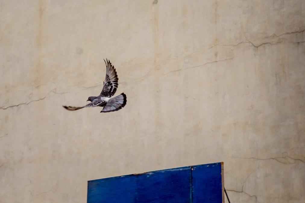 Manhattan Pigeon
