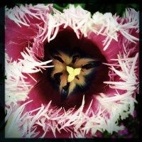 Feathered Tulip | Blurbomat.com