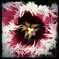 Feathered Tulip | Blurbomat.com