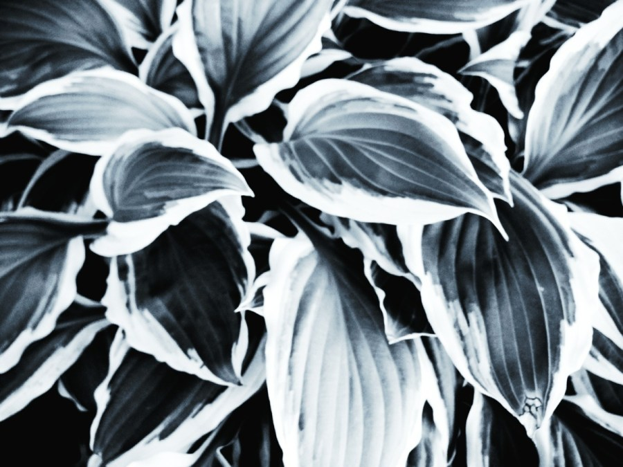 High Contrast Hosta
