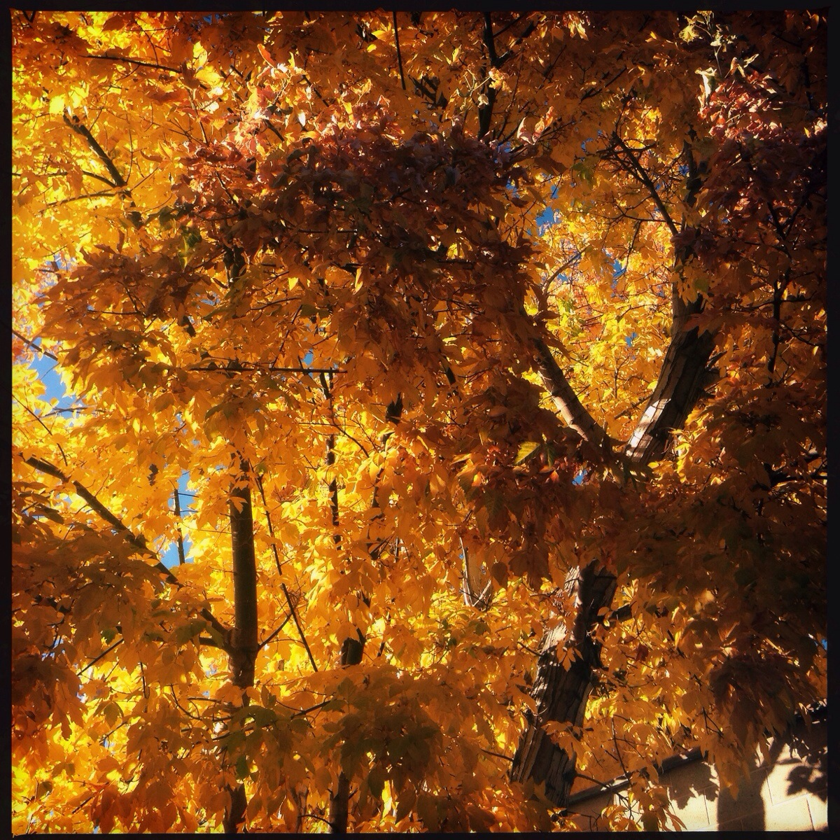 Gold Leaf Day
