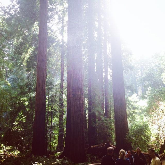 Huge redwoods in Muir Woods near San Francisco