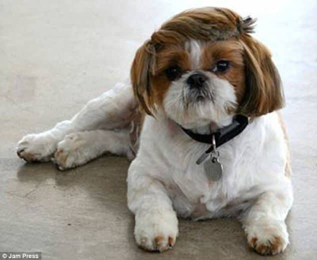 Lawn Owners Are Proud To Show The Craziest Haircuts Of Their Dogs 2