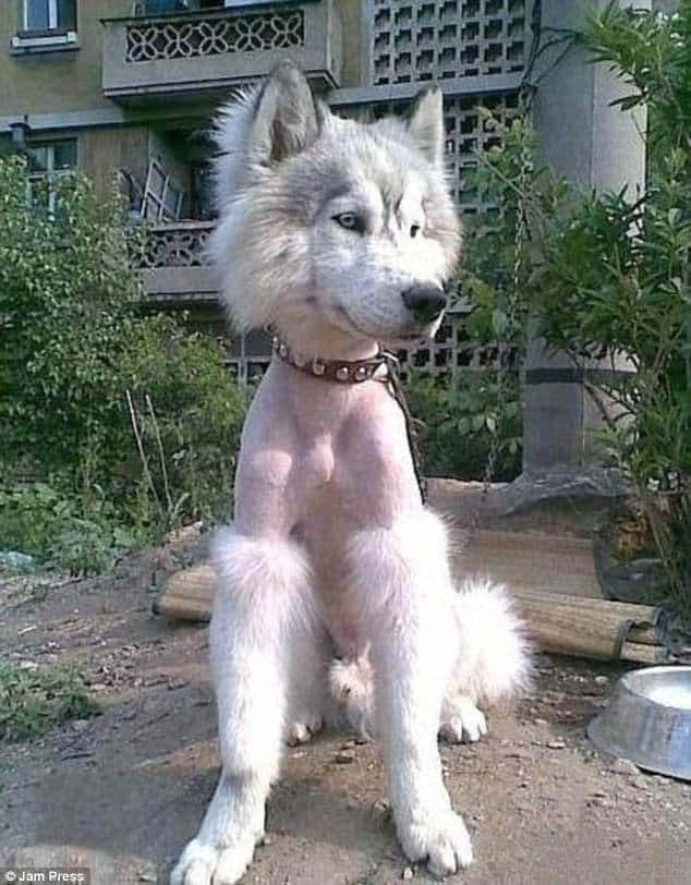 Lawn Owners Are Proud To Show The Craziest Haircuts Of Their Dogs 4
