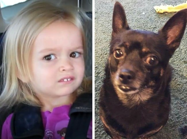 Humanlike Dogs Who Has Left Us Stubborn 11