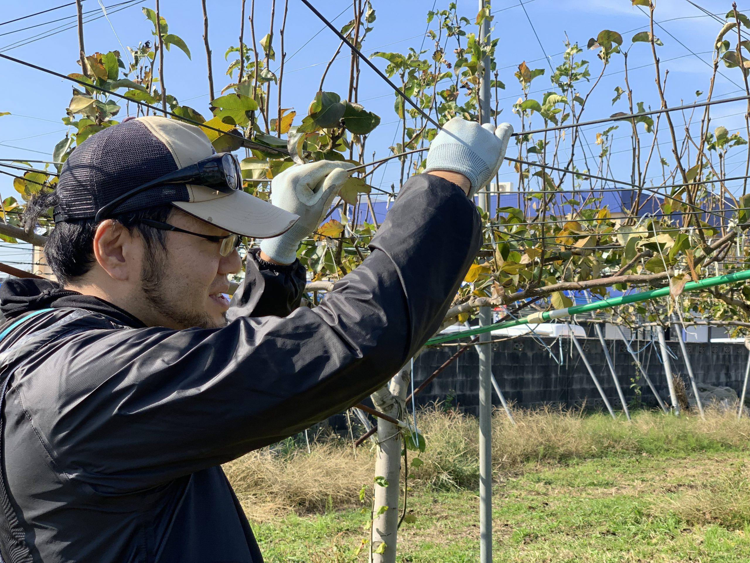 採る高さに合わせて梨の枝を誘導する