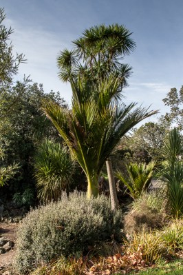 Nikau and Cabbage Tree