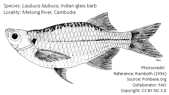 Indian glass barb, Laubuca laubuca (Hamilton, 1822