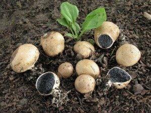Съедобные грибы: дождевик