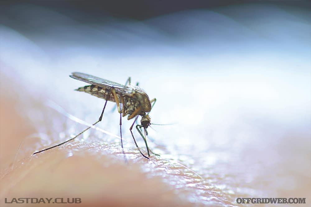 Кроме мышей, крыс и зайцев, комары также могут быть носителями туляремии.