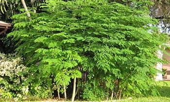 Моринга - самое быстрорастущее лекарственное растений в мире.