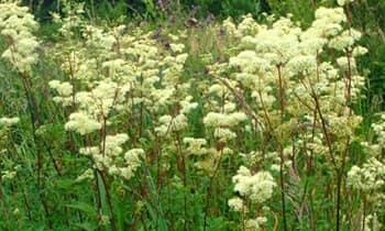 Таволга - многолетнее противовоспалительное лекарственное растение.
