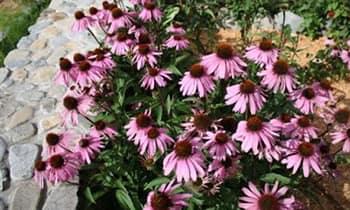 Эхинацея - растение для сильной иммунной системы