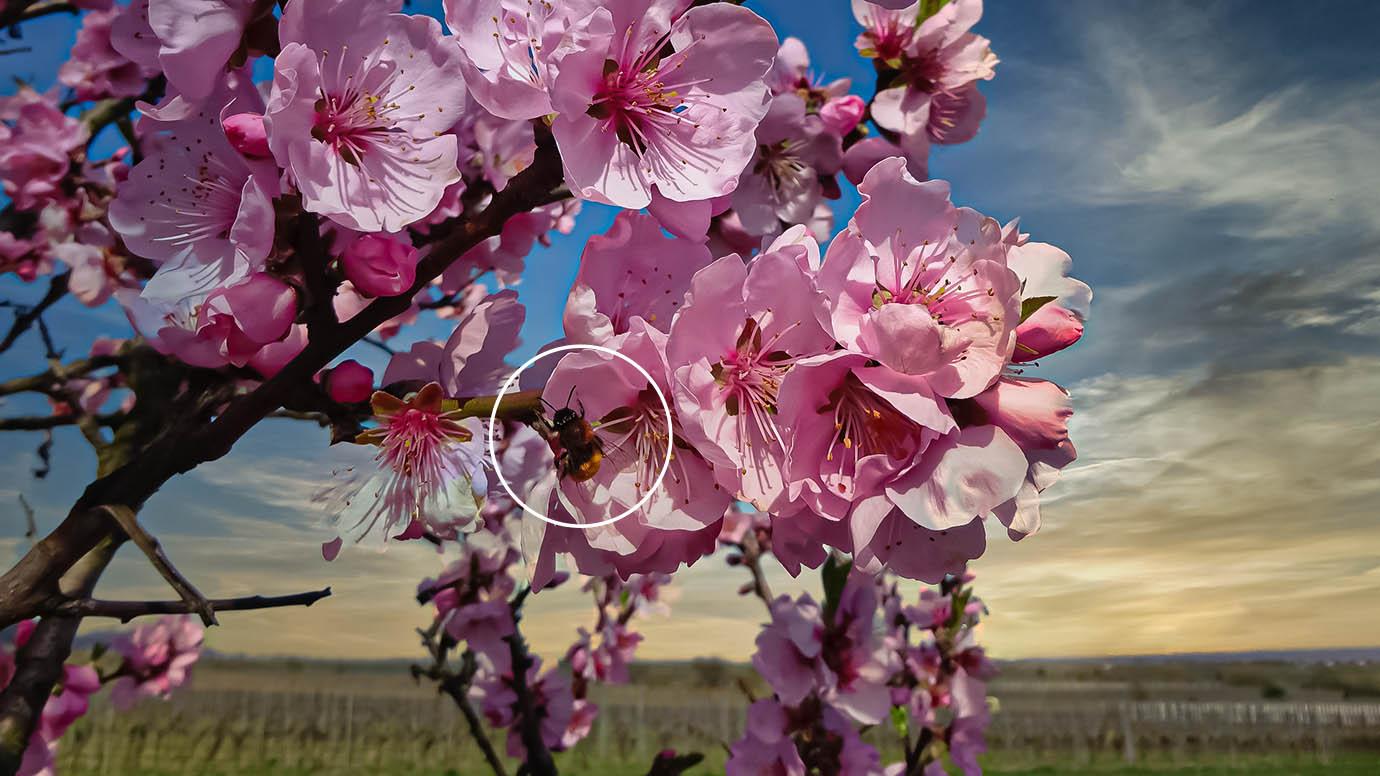 Amandel Bloesems en bijen