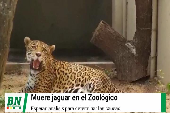 Muerte de una Jaguar en el Zoológico de Santa Cruz es investigada y esperan análisis para determinar causas
