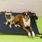Daycare Dogs - Sophie, Aries, and Frankie