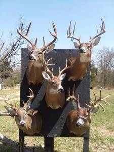HALLIBURTON TAXIDERMY, MAYNARD, ARKANSAS
