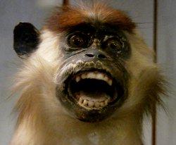 Screaming monkey, Nimes Natural History Museum