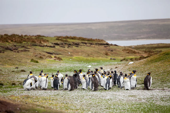 Penguins on the Falkland Islands.