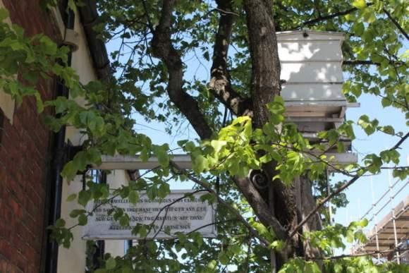 Beehive in tree.