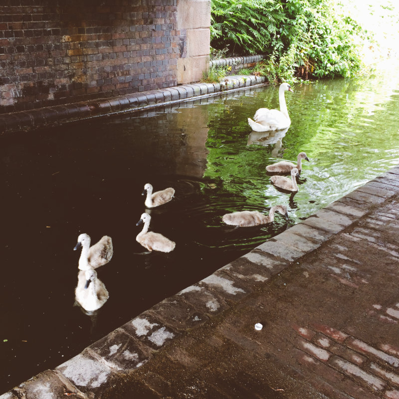 Swans on the canal: one big, several little.