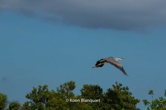 Heron over the Everglades