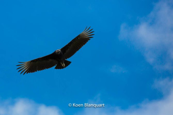 Vulture over the Everglades