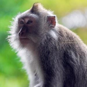 Monkeys in the sacred Monkey Forest Sanctuary in Ubud, Bali, Indonesia - by Koen Blanquart