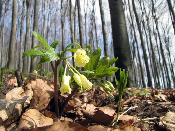Masív Veterlínu je na jar pokrytý kobercom snežienok a Medvedieho cesnaku.