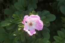 marina schleimuende germany rose