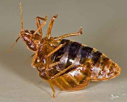 Kill bed bugs with heat