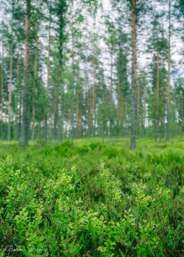 Finnish forest floor covered in young blueberry bushes