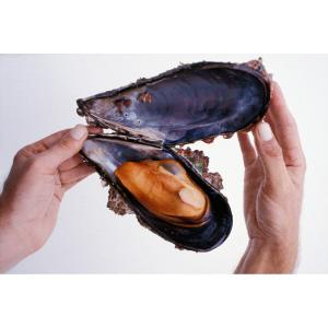 Mussels grow Extra Large on the offshore oil platforms of the Santa Barbara Channel, thanks to the clean open ocean currents continually carrying food past.  Their meat is plump and sweet.