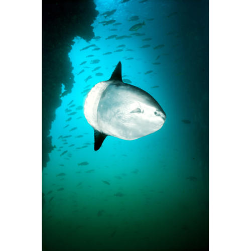 Ocean Sunfish (Mola mola) Drifts into Platform Community to be Cleaned of Parasites by Small Perch, Platform Hilda (Decommissioned), 80 feet