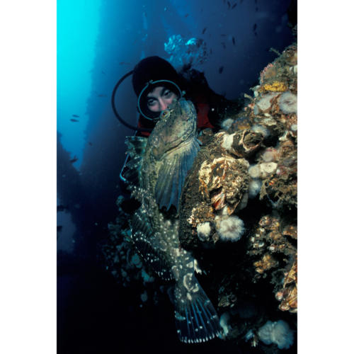 Hillary Hauser Reveals Cabezon (Scorpaenichthys marmoratus) Camouflaged on a Bed of Mussels and Plumrose Anemones (Metridium senile), Platform Holly, 65 feet