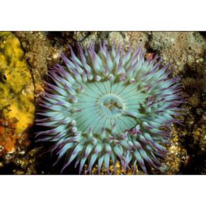 Green Anemone and Yellow Sponge, Santa Cruz Island