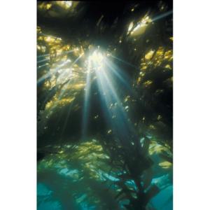 Sun Shines Through Kelp Forest, Santa Cruz Island